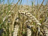 Succes pentru agricultura: Exporturile de grau, porumb si orz s-au majorat cu 20%